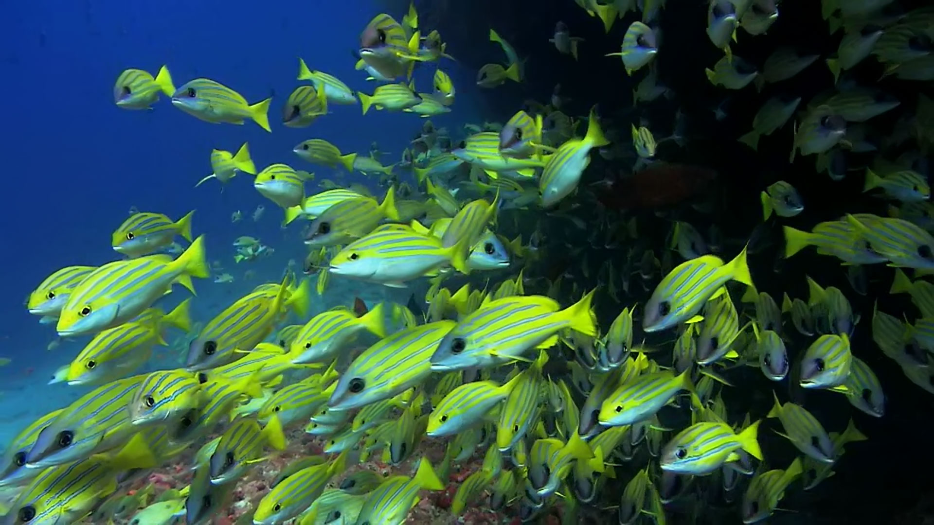 video wallpaper yellow fish